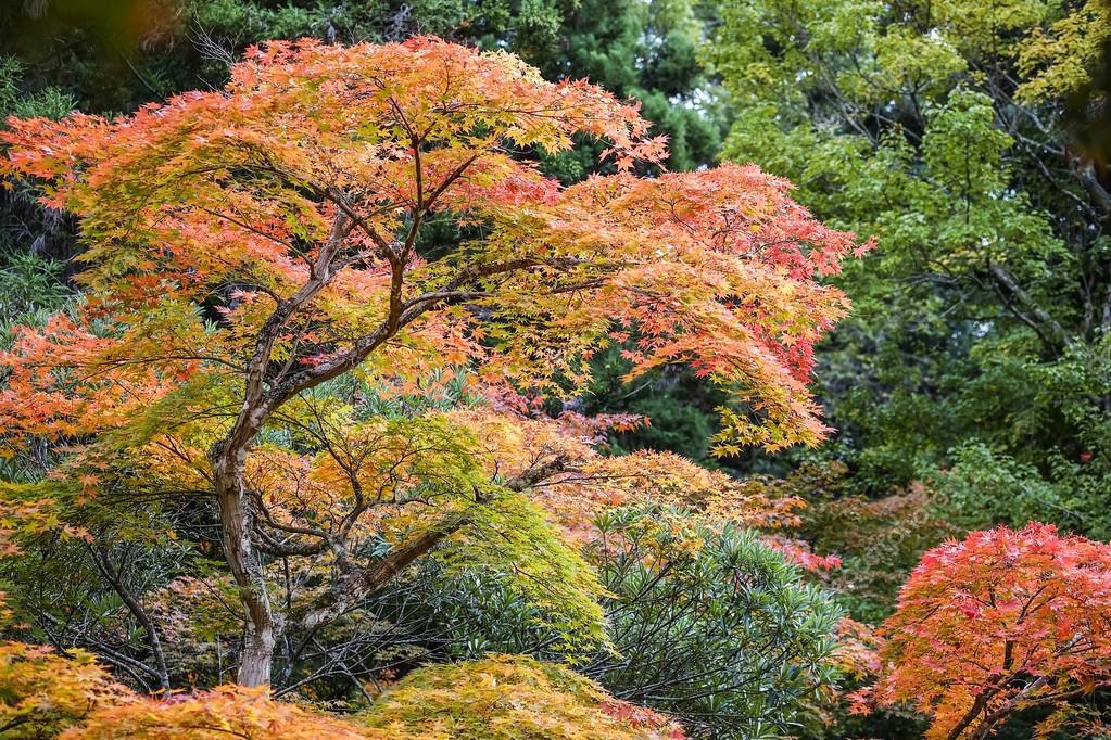 Autumn landscape japan maple tree