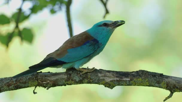European Roller - Coracias garrulus colourful blue bird with the caterpillar of the Spurge Hawk-moth sitting on the branch and bringing food for its chicks in the hole nest.