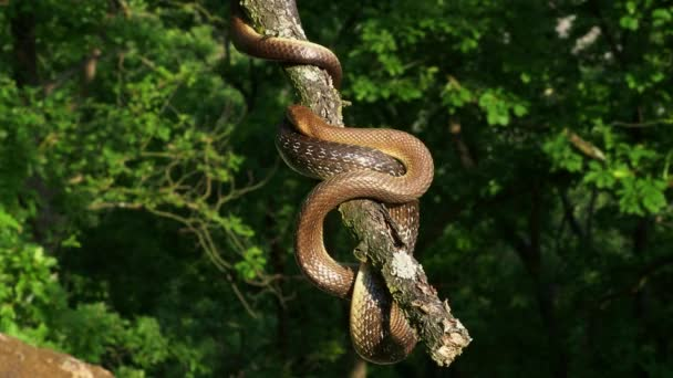 Äskulapnatter - Zamenis longissimus, Elaphe longissima, ungiftige olivgrüne und gelbe Schlange aus Europa, Colubrinae Unterfamilie der Familie Colubridae. Auf dem Ast ausruhen.