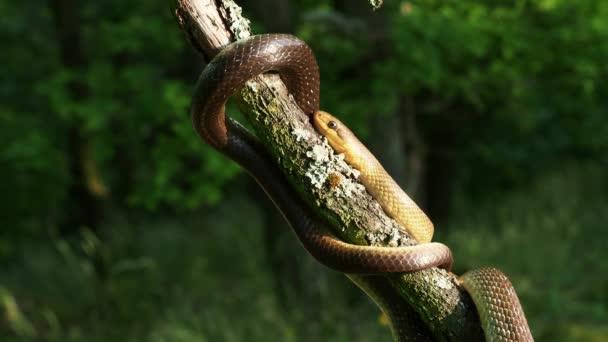 Aesculapian Snake - Zamenis longissimus, Elaphe longissima, nejedovatý olivově zelený a žlutý had původem z Evropy, Colubrinae podčeledi Colubridae. Odpočívá na větvi.