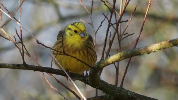 Yellowhammer - Emberiza citrinella passerine pták v bunting rodiny, která je původem z Eurasie a byl představen na Novém Zélandu a Austrálii, hřadování a zpěv v jarním lese.