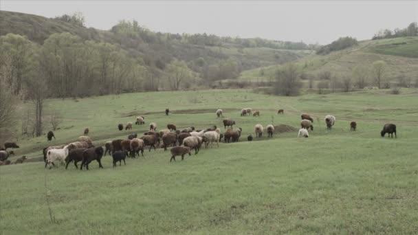 Stádo krav a ovcí
