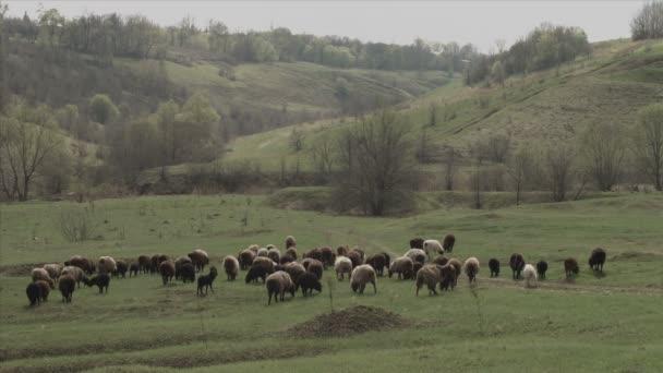 Una mandria di mucche e pecore