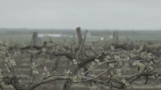 Vineyard spring buds