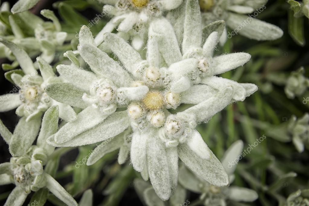 Fleur Edelweiss Photographie W20er C 76388335