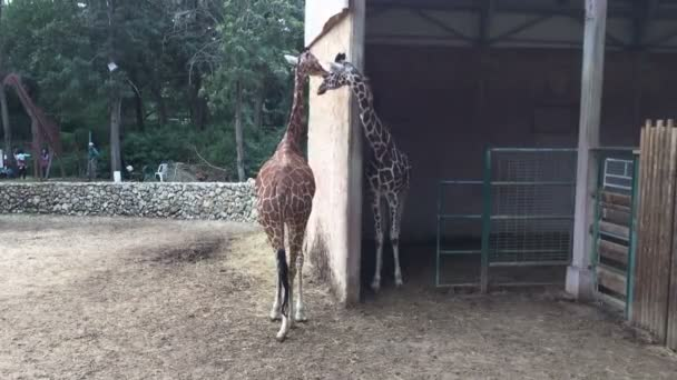 african giraffes at the zoo