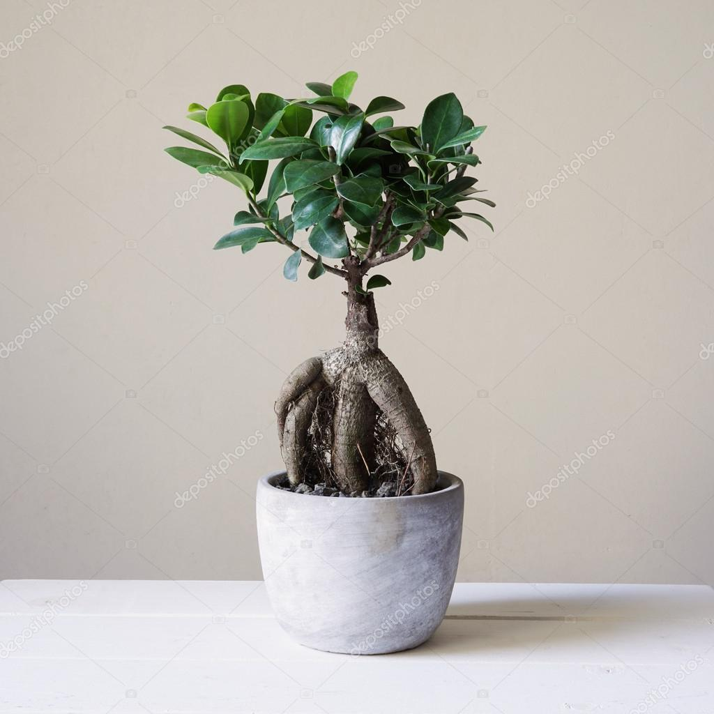 bonsai ginseng or ficus retusa stock photo buecax 122501922. Black Bedroom Furniture Sets. Home Design Ideas