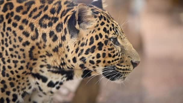 Close up portrait of a Leopard in the wild.