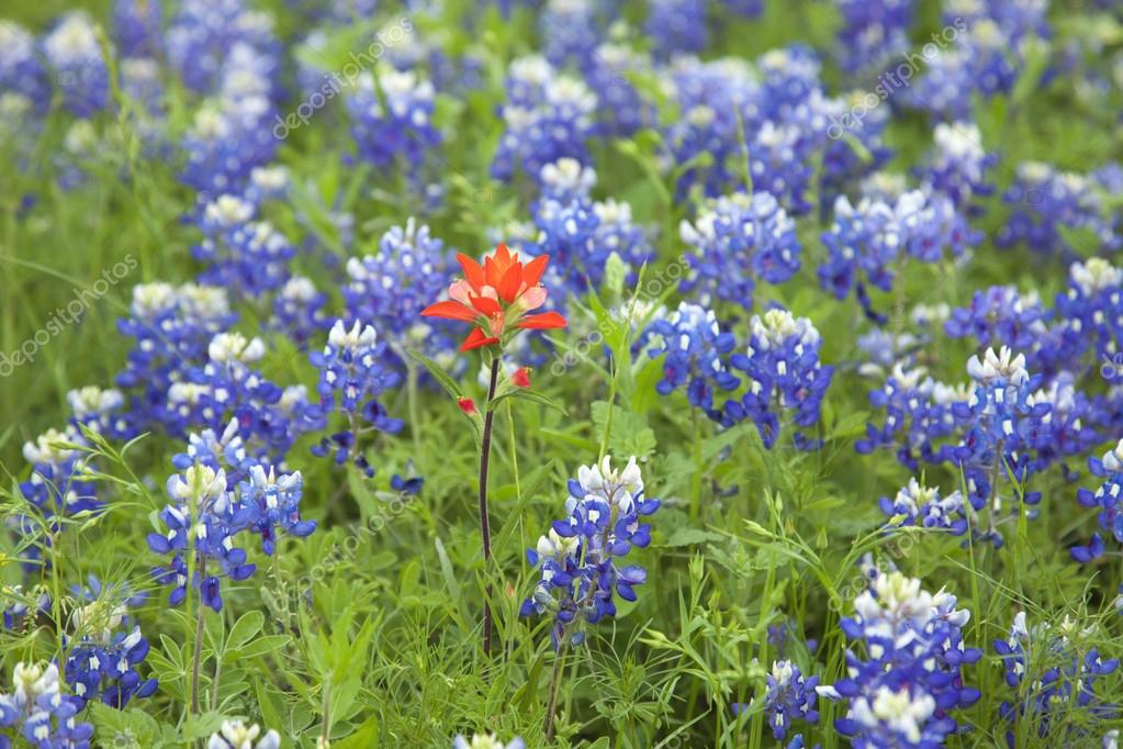 Indian Paintbrush flower among Texas Bluebonnets