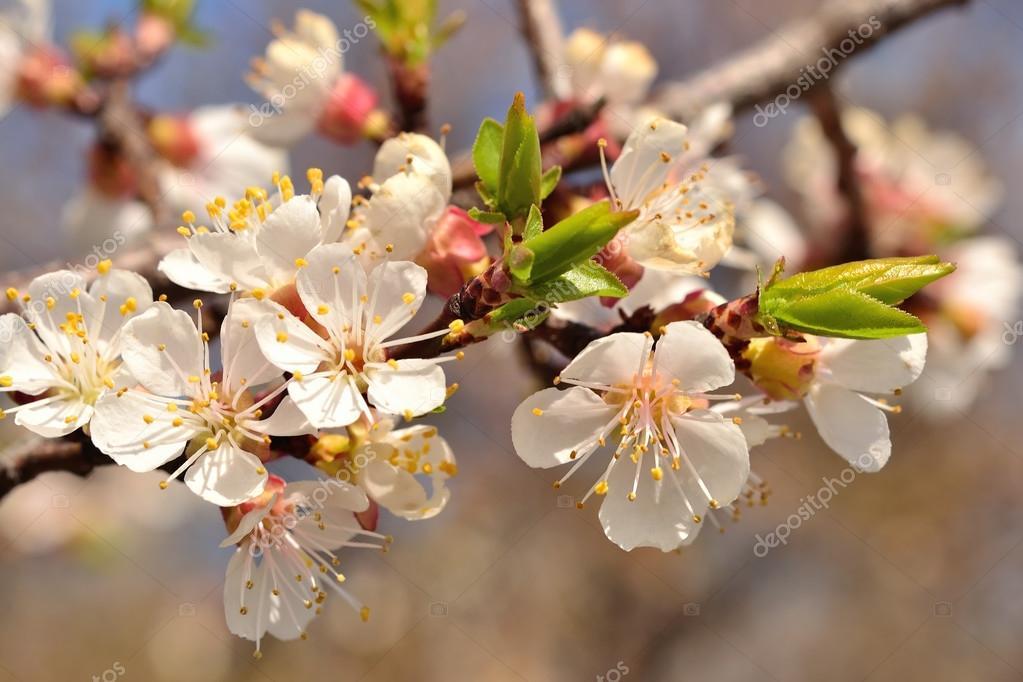 Primavera alberi da giardino fiori fioritura dell 39 albicocca foto stock sveta615 73261817 - Fiori da giardino primavera estate ...