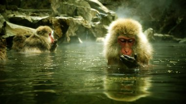 Snow monkey sitting in hot spring Japanese Macaque, Jigokudani Monkey Park, Snow monkey