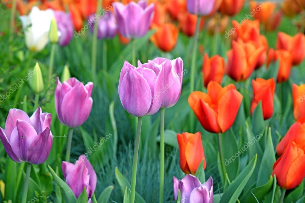 Tulipán. Hermoso ramo de tulipanes. coloridos tulipanes. Tulipanes ...