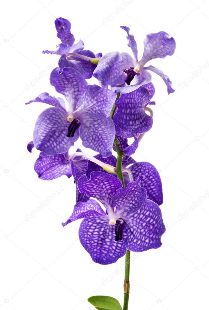 Vibrant Purple Orchids on White Background
