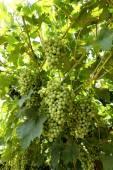 Sklizni dozrávání bílých hroznů na vinici