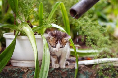 cute small gray kitten with beautiful striped color, white breast and paws against green summer bokeh background
