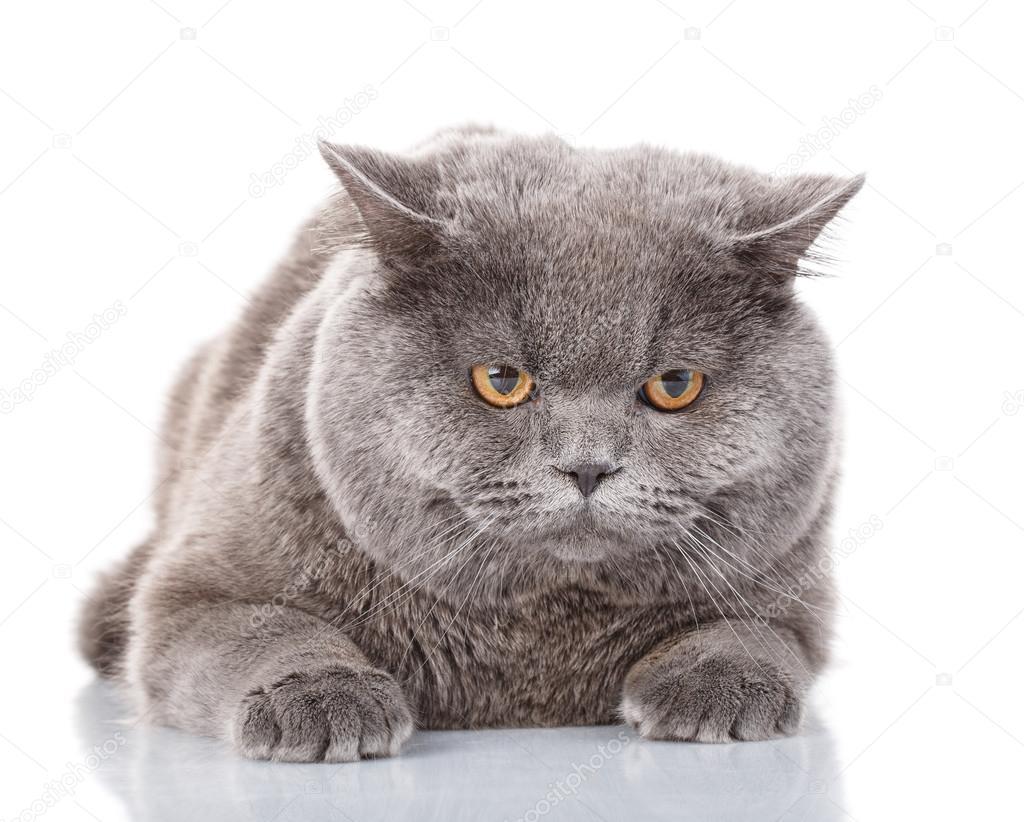 chat gris de portrait britannique droites avec des yeux jaunes sur blanc photographie. Black Bedroom Furniture Sets. Home Design Ideas