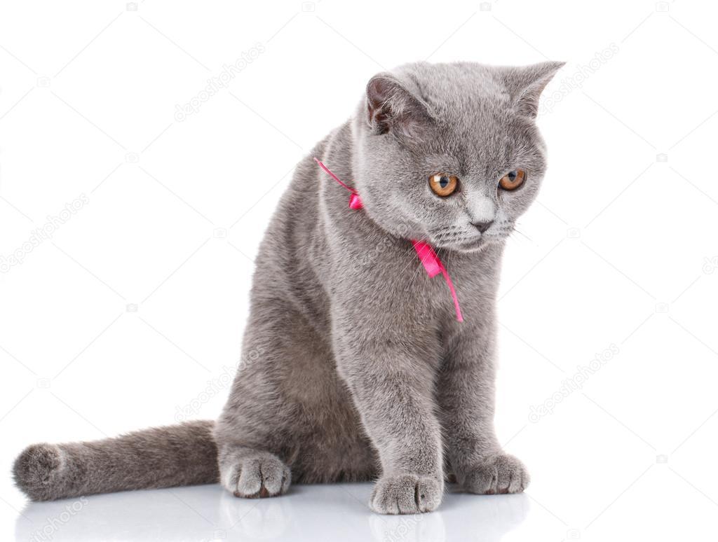 gatto grigio di scottish fold con nastro rosa si siede sul bianco guarda foto stock. Black Bedroom Furniture Sets. Home Design Ideas