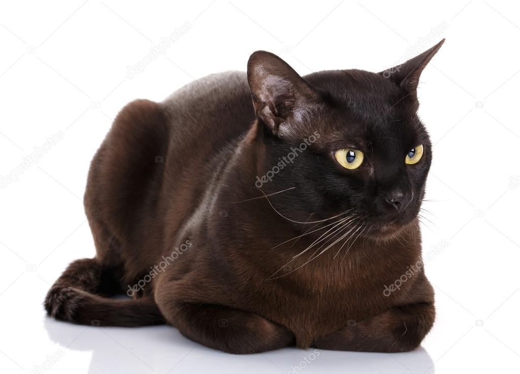 Czarny Kot Birmański Zdjęcie Stockowe Serkucher 124733580
