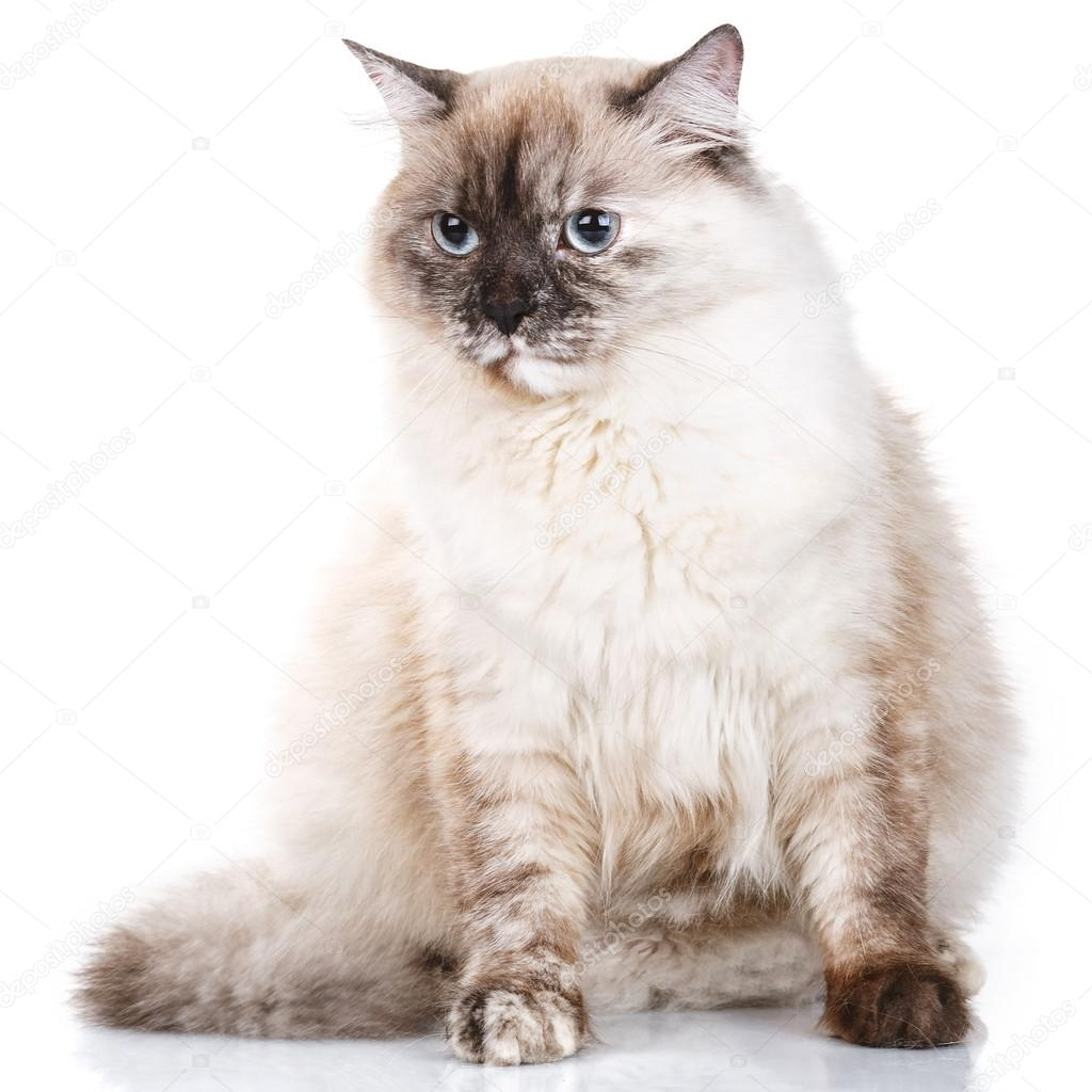 Gray cat with blue eyes on a white background — Stock