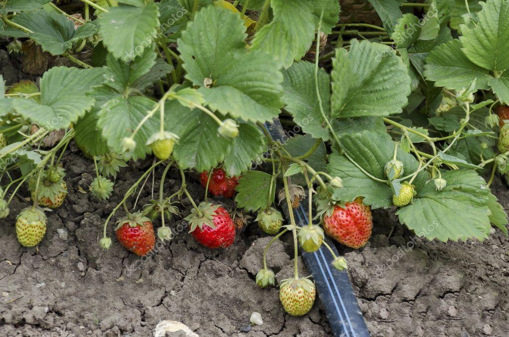 erdbeeren im rohr mit bewässerung