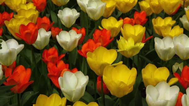 barevný Tulipán květy