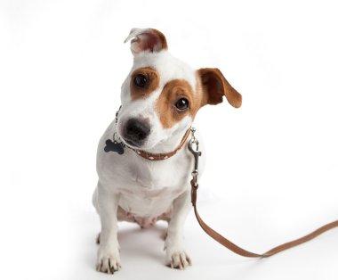 dog sitting in a collar on a leash