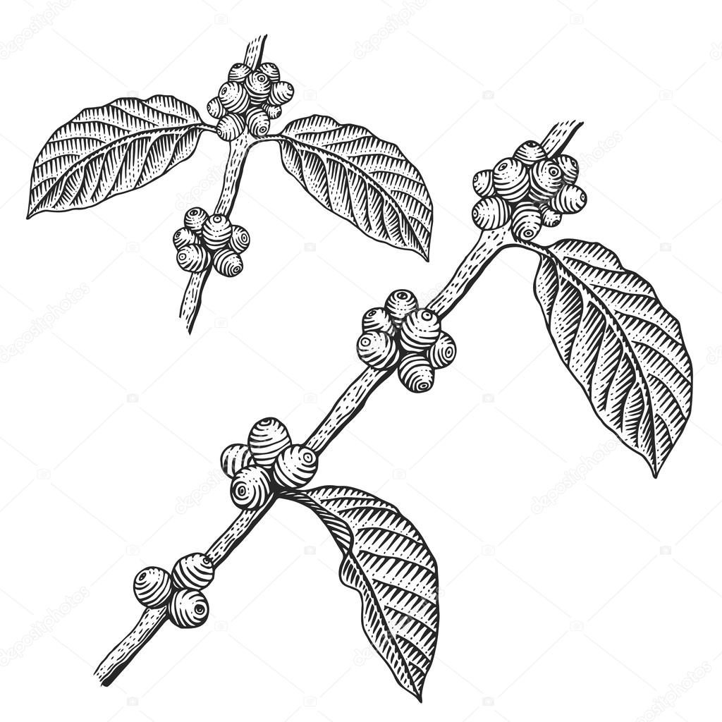 Engraving coffee branch
