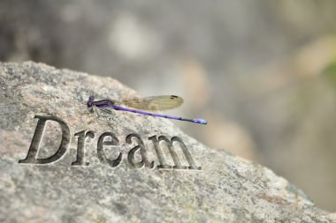 Purple Dragonfly Rock Dream