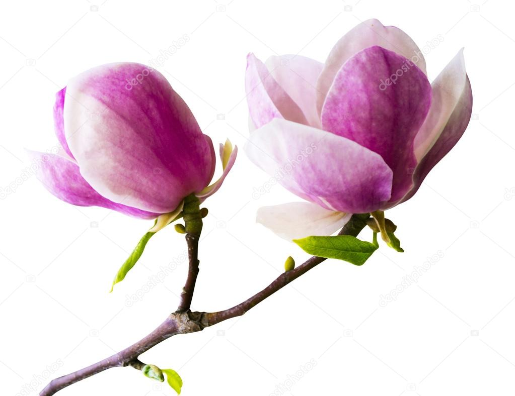 Decoration of few magnolia flowers pink magnolia flower isolate decoration of few magnolia flowers pink magnolia flower isolate stock photo mightylinksfo