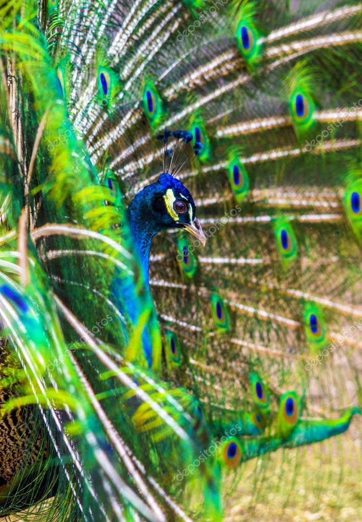 peacock. peafowl.  Beautiful spread of a peacock. beautiful peac