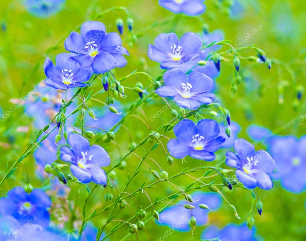 Лен синий цветы