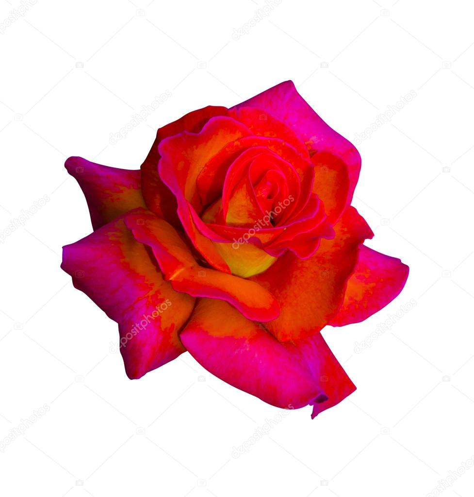 roses. Red roses. Roses flowers it is isolated a holiday