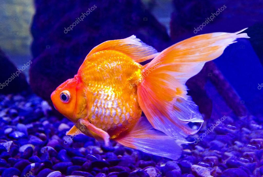 Скачать фото золотой рыбки. Карп золотой рыбки аквариум — стоковое.