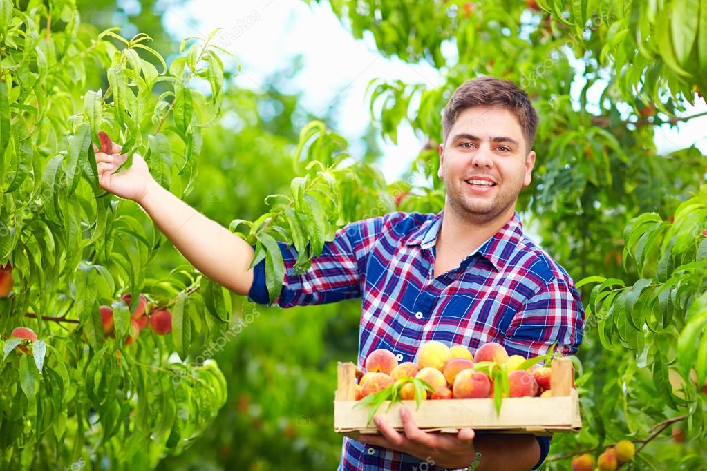 young man, gardener harvesting peaches in fruit garden
