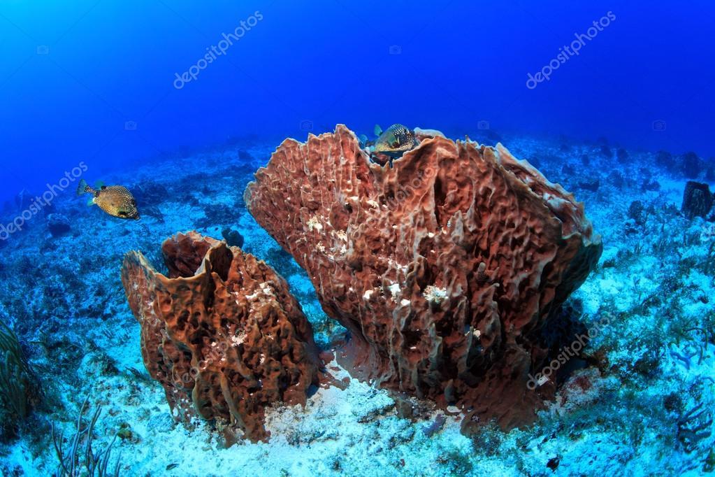 Giant barrel sponges