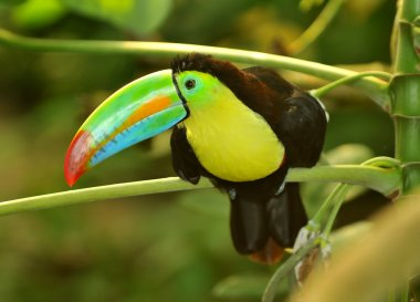 The tropical rainbow toucan