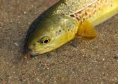 Fly Fishing  (trutta marmorata)