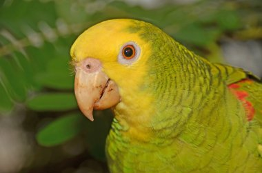 Close up of the yellow-headed parrot