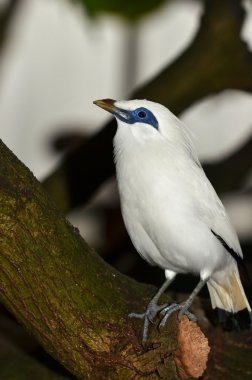 The Bali starling (leucopsar rothschildi)