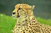 africké gepard odpočívá