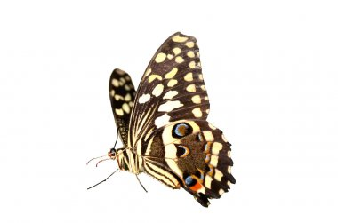 The Citrus Swallowtail butterfly