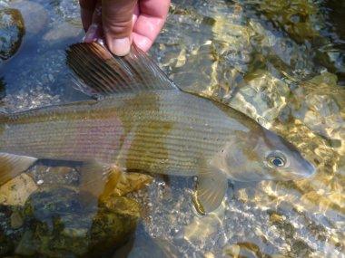 Beautiful grayling caught