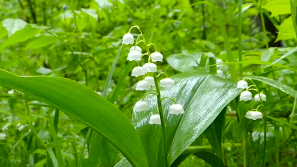 White Lily of valley after the rain in the wind.