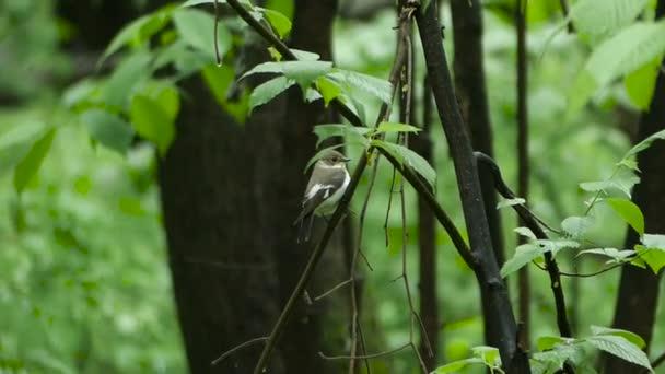 Madár légykapó predellán egy fa ága, erdő