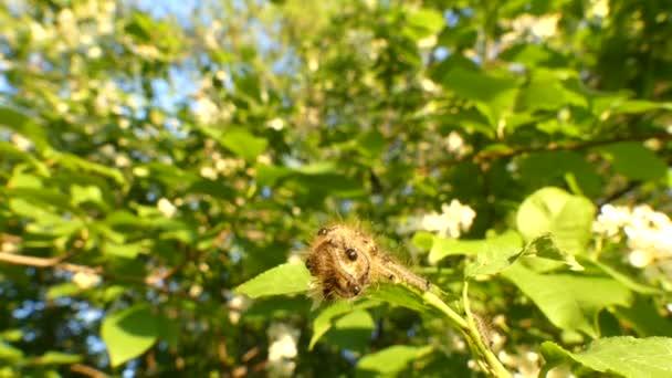 Bourovčík processionea housenky na listnatého stromu v létě