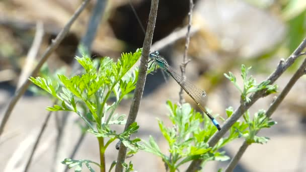 Azúrkék egyenlő szárnyú szitakötők szitakötő rovar a fű