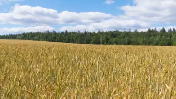Sárga mezőben búza Időközű repül a kék ég, fehér felhők.