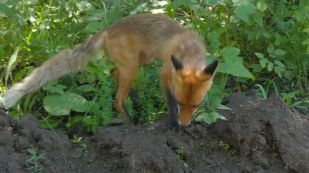 young fox eats in forest