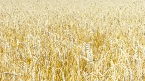 Yellow ears of wheat swaying in the wind on the field in a sunny summer day. Close-up.