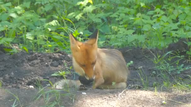 young fox resting summer day